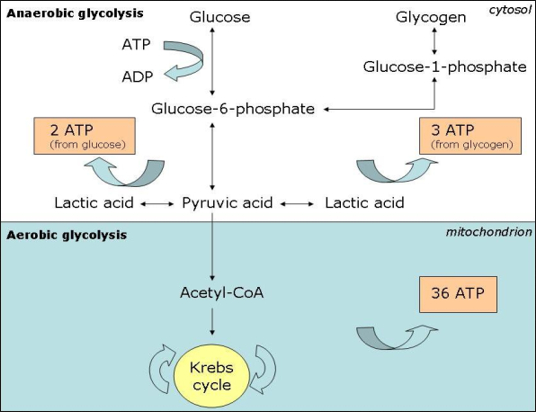 anaerobic resynthesis of atp Atp-pc system this system is the most powerful system and therefore has the fates rate of atp resynthesis  this is an anaerobic system which means that it does.